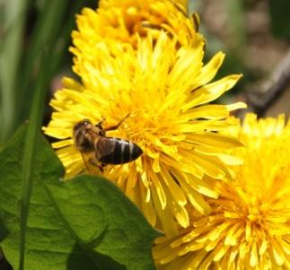 Honey bee on dandelion flower.